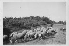 Datering 1945. Een kudde schapen